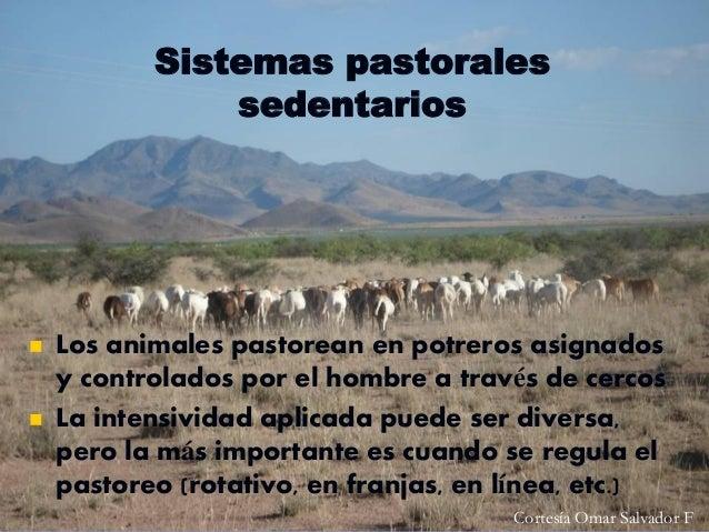 Sistemas pastorales sedentarios      Los animales pastorean en potreros asignados y controlados por el hombre a través d...