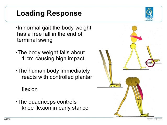 Loading Response •In normal gait the body weight has a free fall in the end of terminal swing •The body weight falls about...