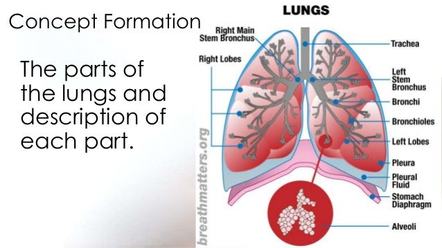 1st science 12 describes the function of each respiratory organ, Cephalic Vein