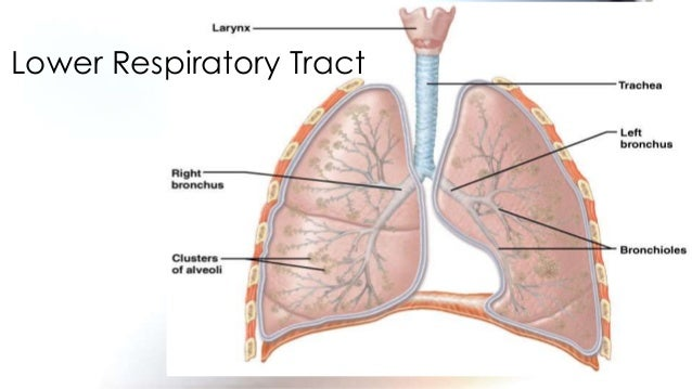 1st science 12 describes the function of each respiratory organ 9 lower respiratory ccuart Gallery