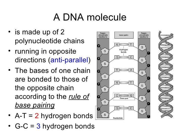 Chapter 20 Molecular Genetics Lesson 1 Structure of DNA – Dna Model Worksheet