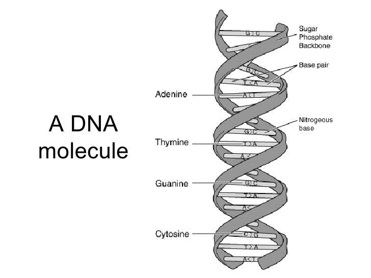 Chapter 20 Molecular Genetics Lesson 1 Structure of DNA – Dna the Molecule of Heredity Worksheet
