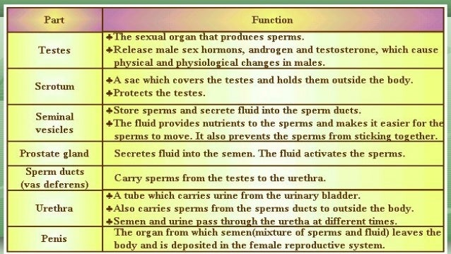 male reproductive organ and its function