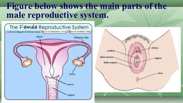name of female reproductive organ