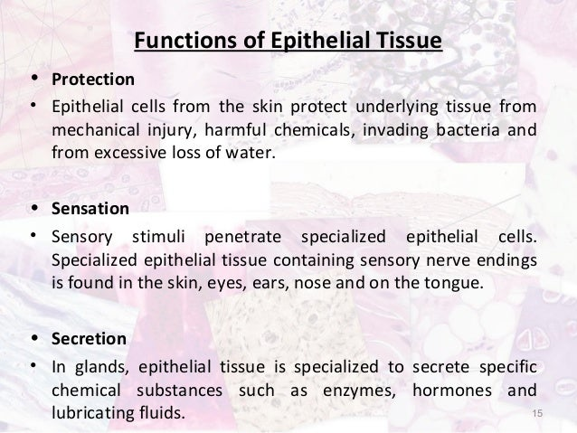 what is the function of epithelial tissue Start studying epithelial tissue learn vocabulary, terms, and more with flashcards, games, and other study tools.