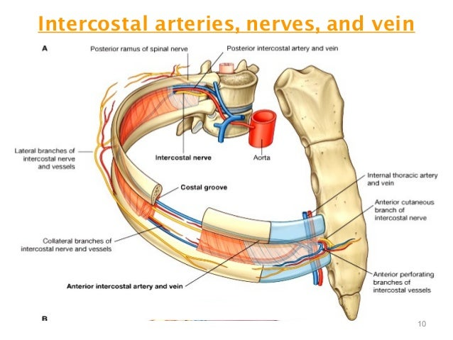 thorax intercostal space