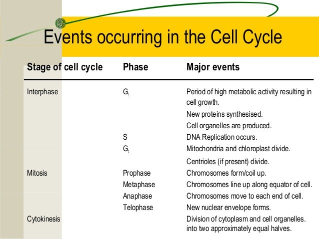 in what phase of mitosis is there sythesis and growth Cell cycle interphase mitotic phase stages g1 gap 1 cell grows for synthesis s   4 the first gap, or growth phase, of the cell cycle, the first division of a 2-stage.