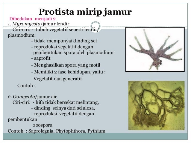 98 Koleksi Gambar Protista Mirip Hewan Tumbuhan Dan Jamur HD