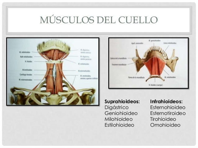 2 cuello for Esternohioideo y esternotiroideo