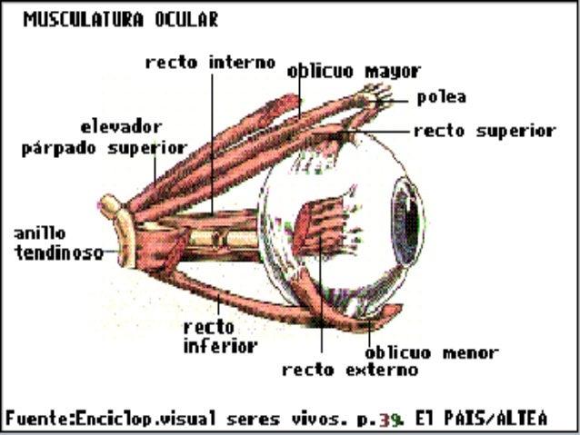 2.1 anatomia visual leoncio borrome (2)