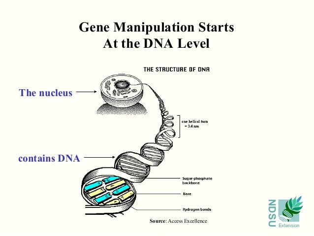 gene manipulation Genetic engineering has applications in many fields medicine, agriculture, the environment, and food production it can be described rather generally as any genetic manipulation that allows an organism to perform new functions or.