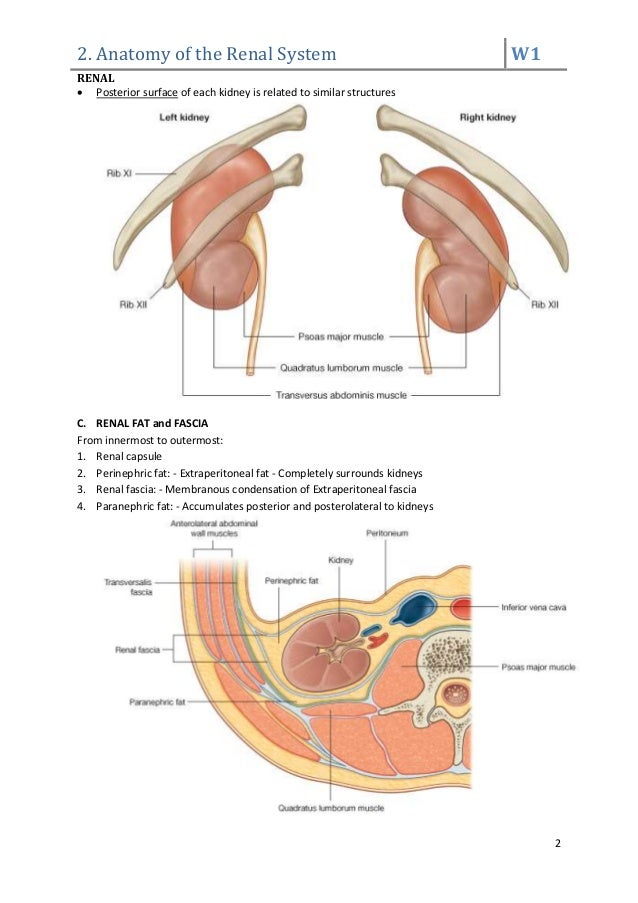 Anatomy of renal system