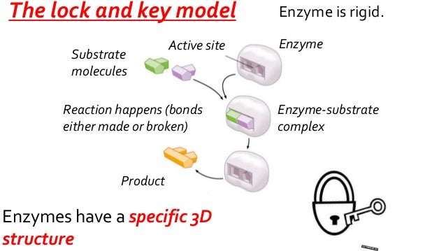 As U1 26 Enzyme Action