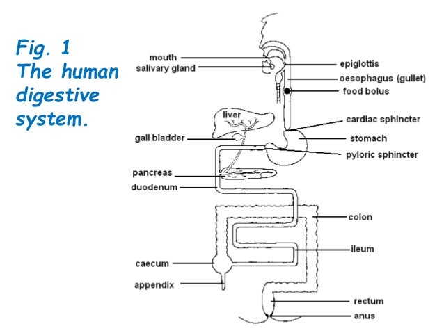 Biology form 4 chapter 6 nutrition part 2 1 the human digestive system ccuart Image collections