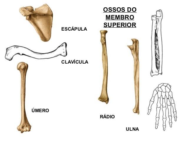 Anatomia Humana Basica Pdf