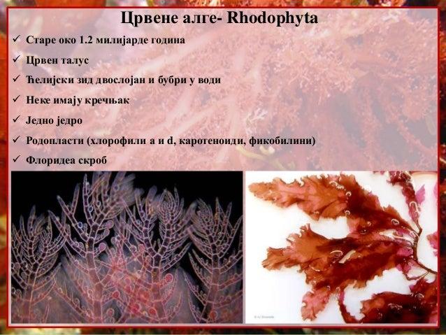 Црвене алге- Rhodophyta  Старе око 1.2 милијарде година  Црвен талус  Ћелијски зид двослојан и бубри у води  Неке имај...