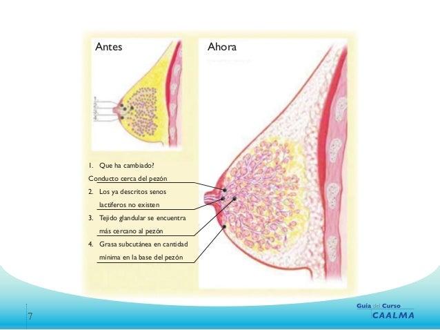 2.lactancia materna anatomia y fisiologia