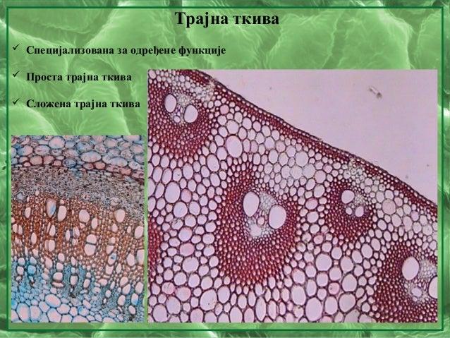 Трајна ткива  Специјализована за одређене функције  Проста трајна ткива  Сложена трајна ткива