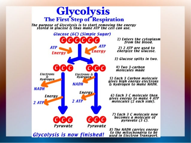 glycolysis atp glucose molecule