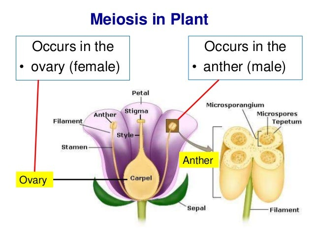 Diagram of meiosis in plant electrical work wiring diagram biology form 4 chapter 5 cell dvision part 2 meiosis rh slideshare net plant anatomy diagram mitosis and meiosis diagram ccuart Gallery