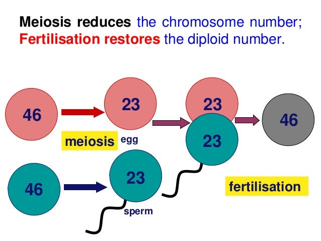 Biology form 4 chapter 5 cell dvision part 2 meiosis 15 features of meiosis ccuart Choice Image