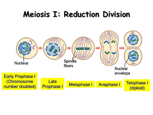 Biology Form 4 Chapter 5 Cell Dvision Part 2  Meiosis