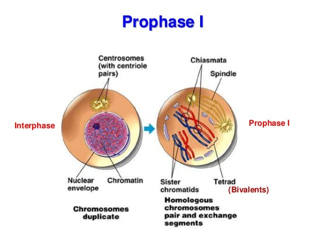 Biology form 4 chapter 5 cell dvision part 2 meiosis prophase i interphase prophase i bivalents 20 ccuart Gallery