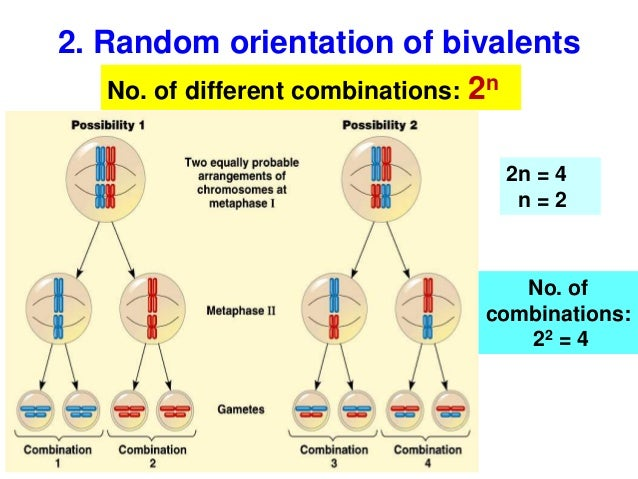 Biology form 4 chapter 5 cell dvision part 2 (meiosis)