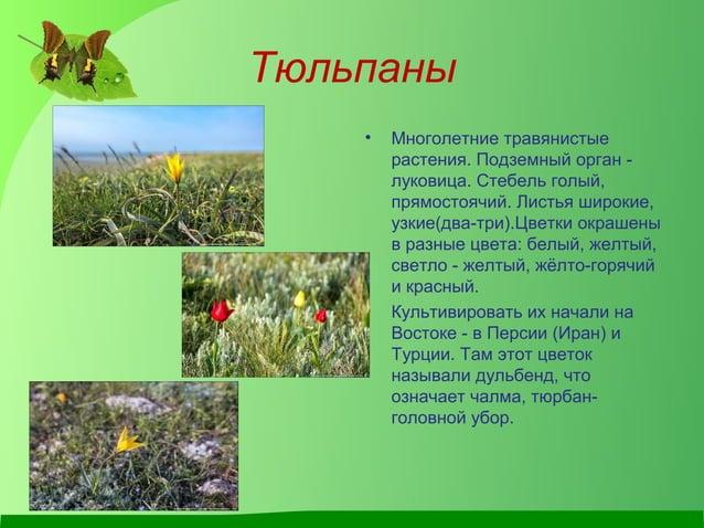 Тюльпаны • Многолетние травянистые растения. Подземный орган - луковица. Стебель голый, прямостоячий. Листья широкие, узки...
