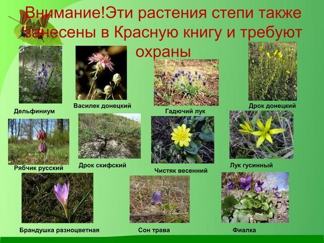 Внимание!Эти растения степи также занесены в Красную книгу и требуют охраны Дельфиниум Василек донецкий Дрок донецкий Гадю...