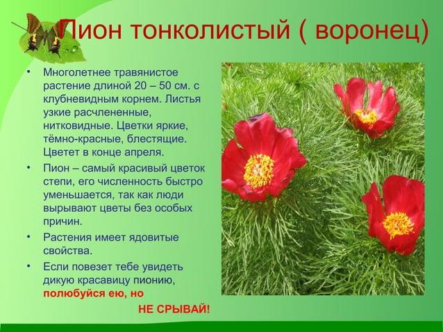 Пион тонколистый ( воронец) • Многолетнее травянистое растение длиной 20 – 50 см. с клубневидным корнем. Листья узкие расч...