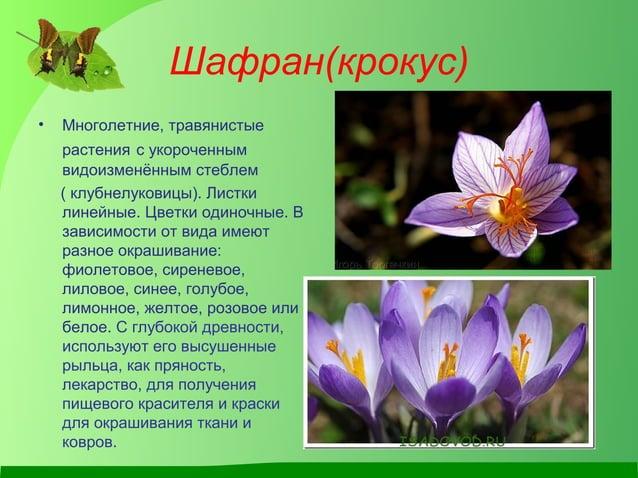 Шафран(крокус) • Многолетние, травянистые растения с укороченным видоизменённым стеблем ( клубнелуковицы). Листки линейные...