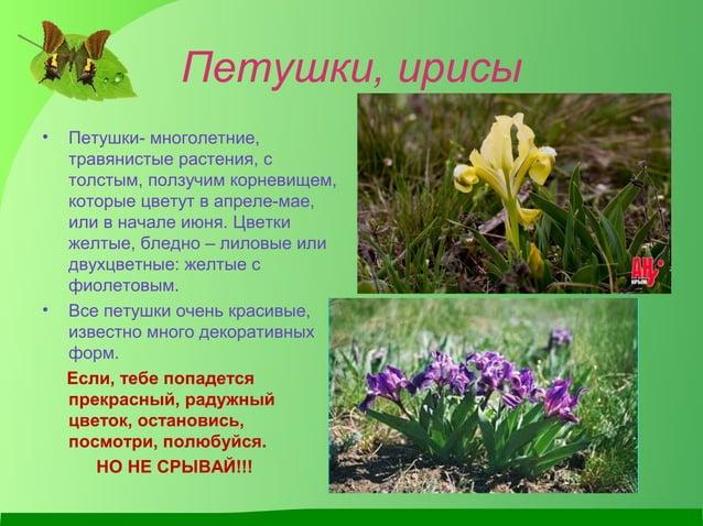 Петушки, ирисы • Петушки- многолетние, травянистые растения, с толстым, ползучим корневищем, которые цветут в апреле-мае, ...