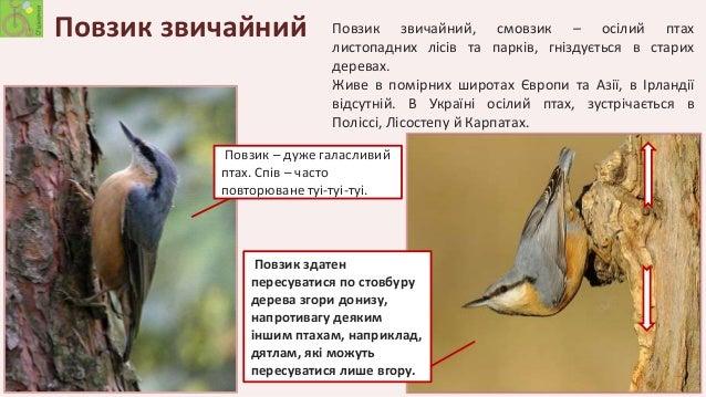 пташка повзик фото