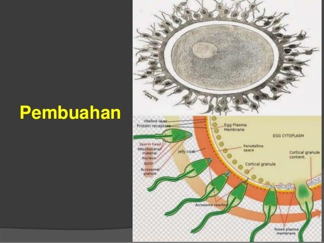 Pembelahan I (stadia 2 sel) Pembelahan II (Stadia 4 sel) Pembelahan III (stadia 8 sel) Pembelahan IV (stadia 16 sel Morula...
