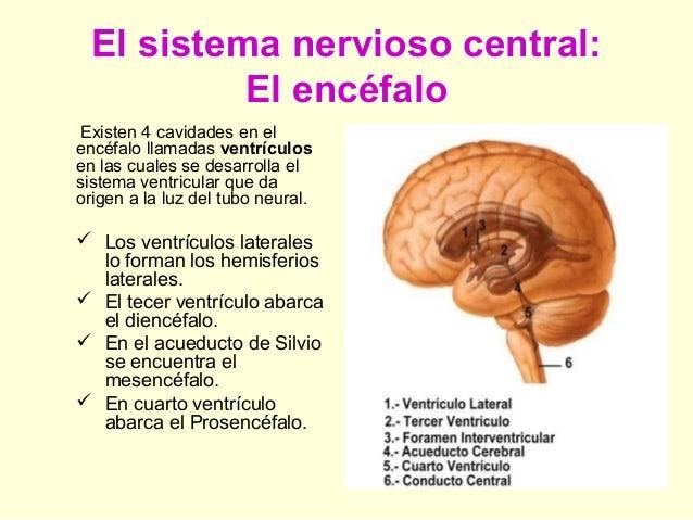 2. anatomia sistema-nervioso