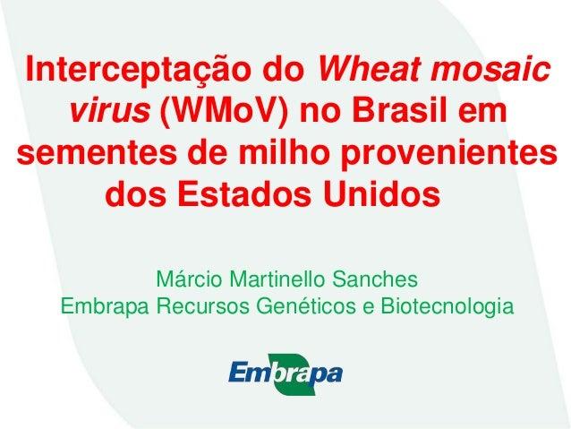 Interceptação do Wheat mosaic virus (WMoV) no Brasil em sementes de milho provenientes dos Estados Unidos Márcio Martinell...