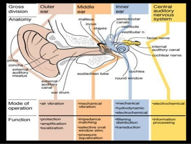 2. physiology of hearing and balance