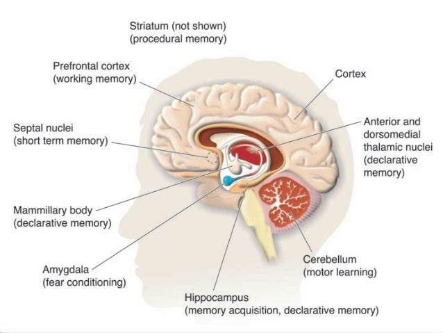 Anatomy of limbic system terminalis 3 functions of the limbic system ccuart Images