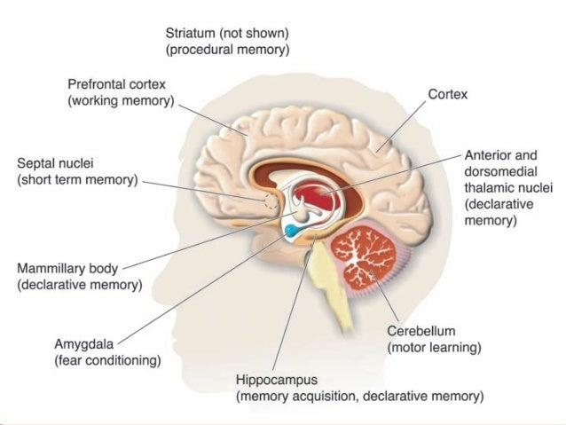 Anatomy of limbic system
