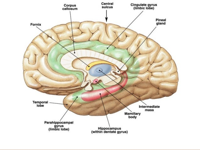 Anatomy of limbic system