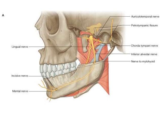 anatomy of infratemporal region, Human Body