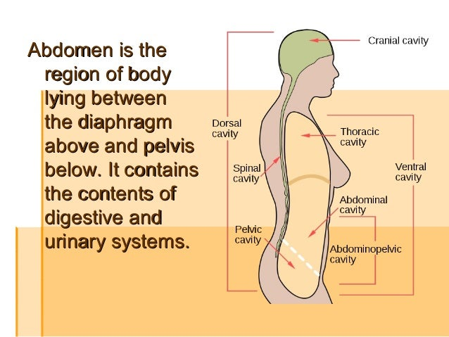 The Abdomen Regions Muscles Weak Points Of Walls Of Abdomen