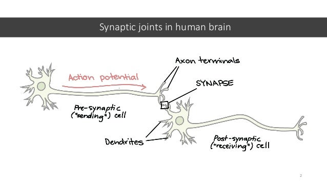 Synaptic joints in human brain 2