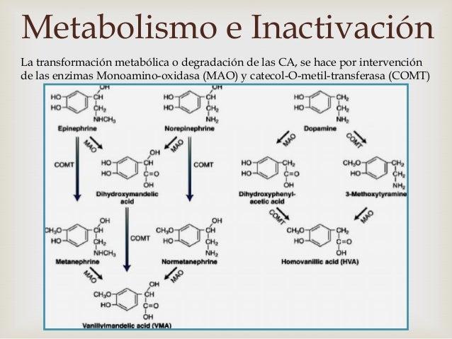 Metabolismo e Inactivación                      MAO                      COMT  Enzima localizada en    Enzima citoplasm...