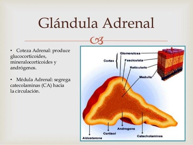 Glándula Adrenal                  • Coteza Adrenal: produceglucocorticoides,mineralocorticoides yandrógenos.• Médula Adre...