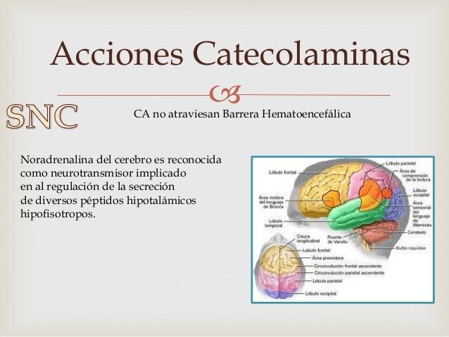 Acciones Catecolaminas                 • La Adrenalina tiene como consecuencia el aumento de la glucemia, ácidos  grasos ...