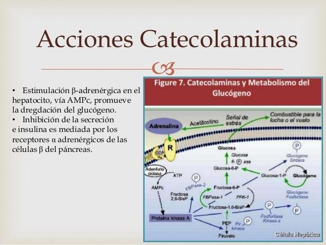 Acciones Catecolaminas                Los adipocitos tienen receptoresβ3 cuya acción es predominantey receptores α2 inhib...