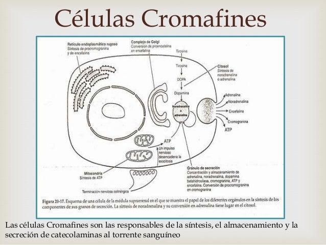 Células Cromafines                                        Las células Cromafines son las responsables de la síntesis, el ...