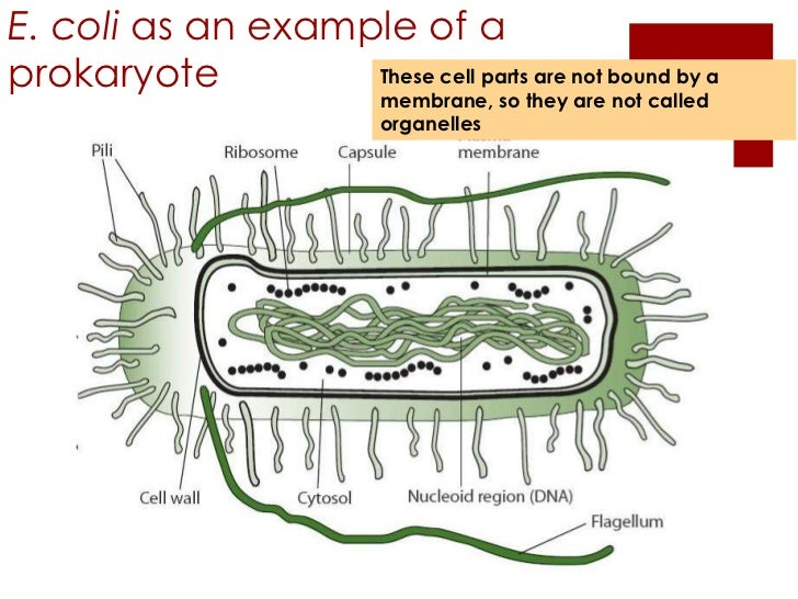 2.2 prokaryotic cells